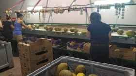 Empleadas de una de las empresas de Villaconejos seleccionando los melones.