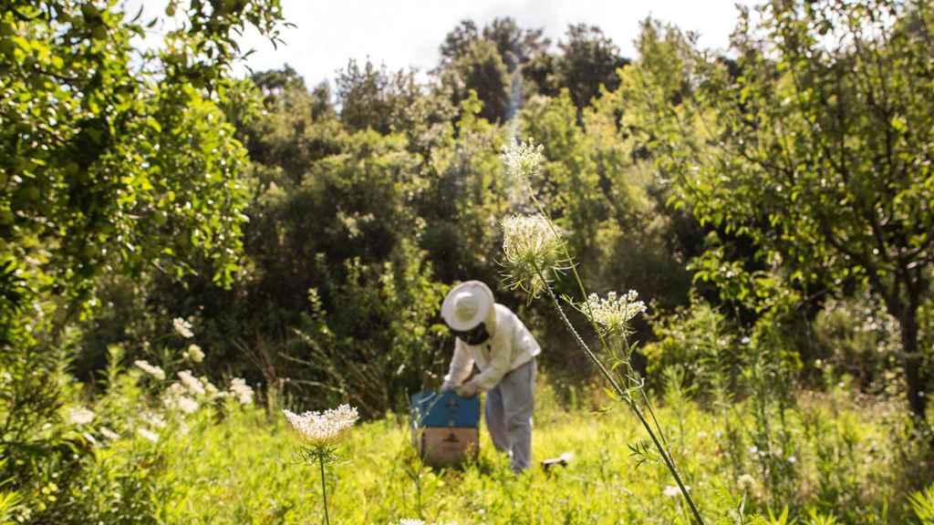 Propóleo (que producen las abejas) para alargar la vida de la fruta fresca