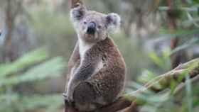 Una imagen de archivo de un koala.