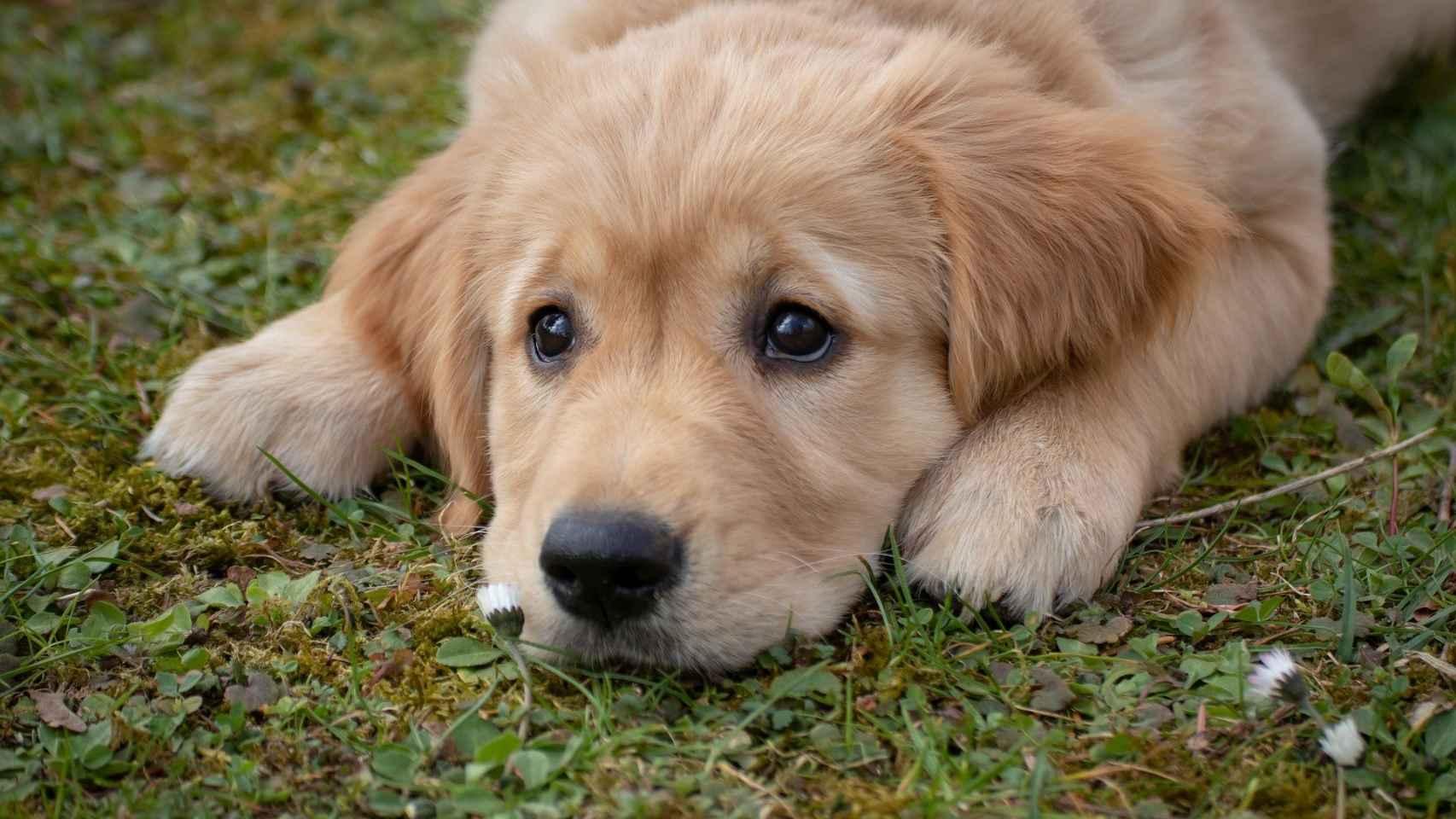Las razas de perros que menos ladran