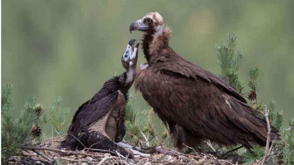 El buitre negro se considera una especie indicadora de la calidad del hábitat.