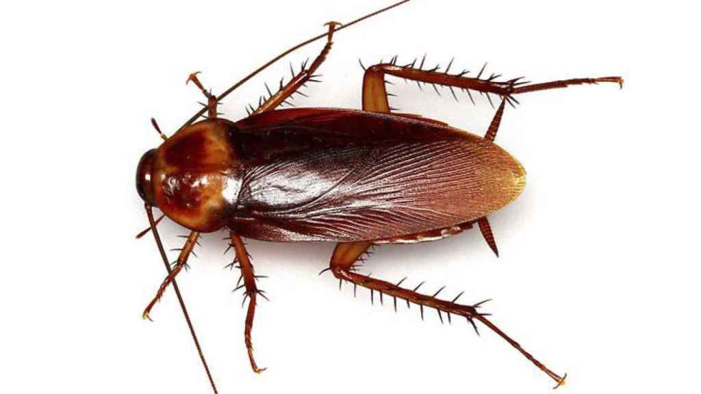 Cucaracha roja