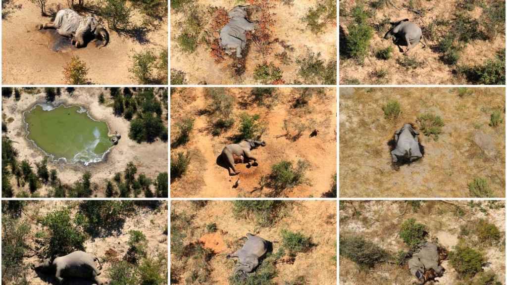 Elefantes muertos en el Delta del Okavango, Botsuana.