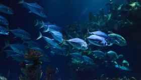 El apareamiento de muchos peces, en peligro por la temperatura del agua, según un estudio.