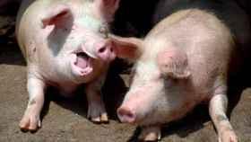 Hora de comer para los cerdos de una granja en Quingdao, China. EFE/EPA/WU HONG