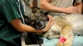 Un perro siendo atendido por unos veterinarios (Imagen de recurso)