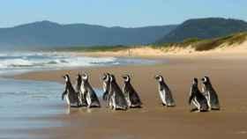 Cinco veces más pingüinos que en los últimos 5 años.