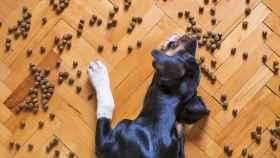 Un perro come el pienso esparcido sobre el suelo de una casa.