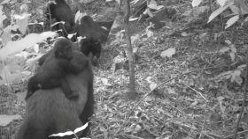 Una imagen de una familia de gorilas del río Cross captada por una cámara remota en las montañas Mbe, Nigeria.