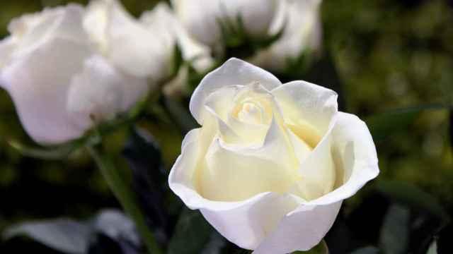 El significado de las rosas blancas, el lenguaje de las flores