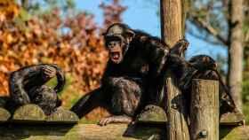 Esta es la situación de los chimpancés y su hábitat