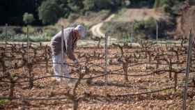 Un hombre trabaja en un viñedo.