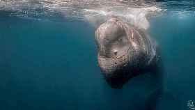 La cabeza del cachalote Toño atrapada en la red.