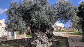 Una foto de archivo del olivo de Vouves, ejemplar milenario de la especie Olea europaea (Creta).