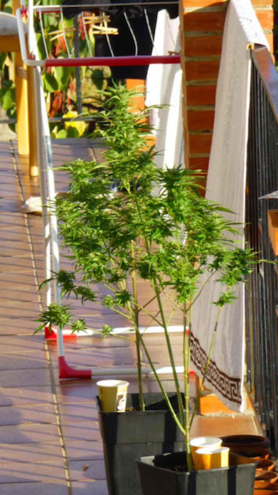 Los okupas incluso han cultivado una planta de marihuana en la terraza de la casa.
