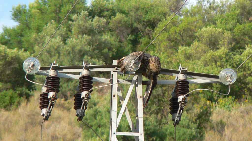 Un búho real electrocutado.