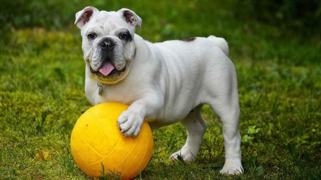 english-bulldog-562723_1920