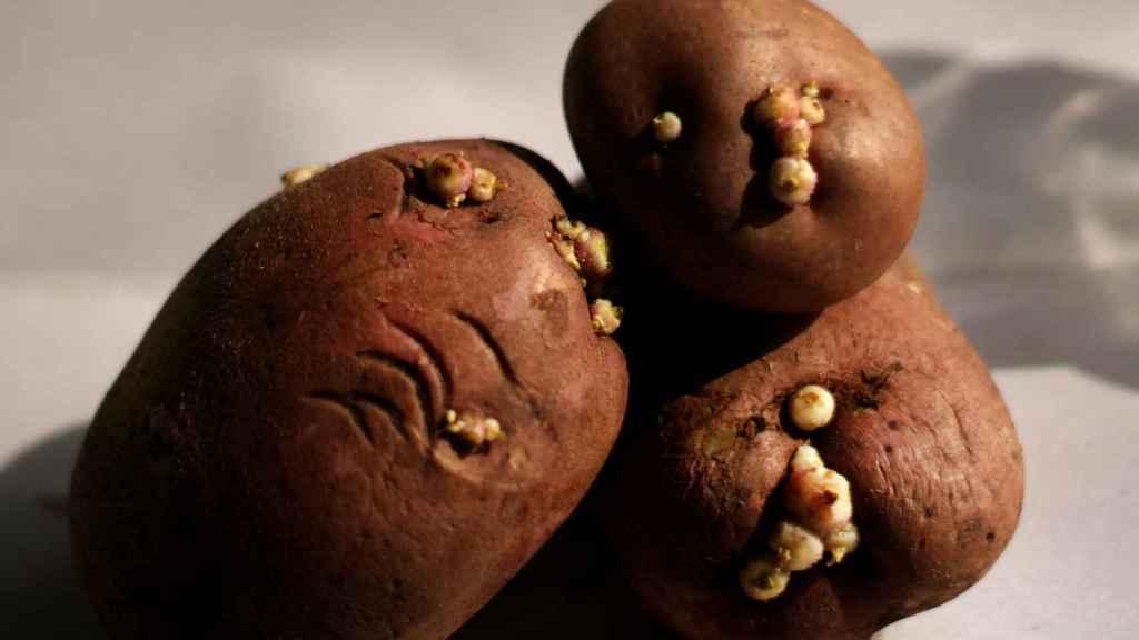 Una imagen de patatas con brotes.