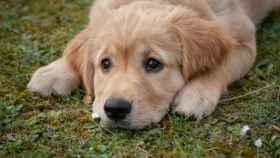 ¿Cuál es la raza de perros que menos ladran?