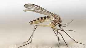 El 'culex pipiens', el mosquito común de España