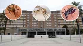 Mosquitos 'culex pipiens', 'aedes japonicus' y 'aedes albopictus'. De fondo, el hospital Virgen del Rocía, Sevilla.