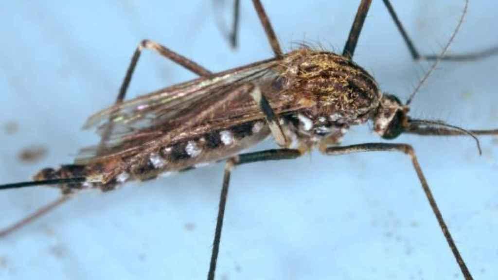 Imagen del mosquito conocido como Aedes japonicus,  que transmite la enfermedad del Nilo.