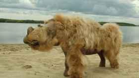 Restos conservados y reconstruidos de un bebé rinoceronte lanudo llamado Sasha y que fue descubierto en Siberia.