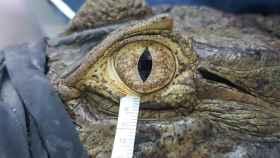 Recogida de lágrimas del caimán de Brasil, también conocido como yacaré overo.