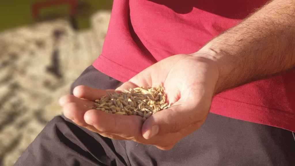 Detalle del cereal maltero