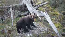leon-oso-pardo-muerte-trampa-ilegal