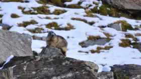 Marmota alpina en Vallter (Cataluña) este agosto de 2020. Tiene un peso adecuado para volver a hibernar en septiembre.
