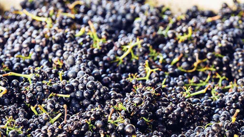 En la maceración carbónica los racimos fermentan sin despalillar.