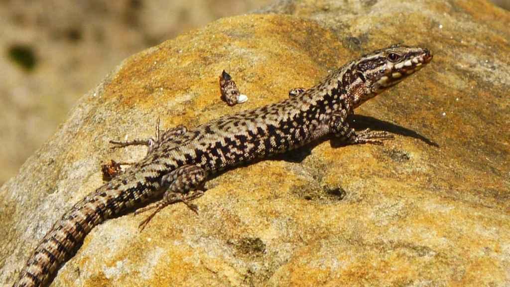 Un macho adulto de lagartija roquera en el Macizo de Peñagolosa (Castellón).