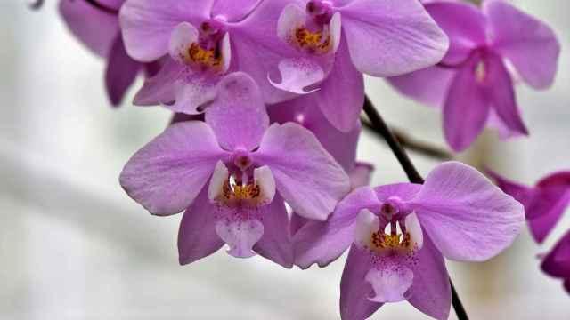 ¿Qué son las orquídeas? Características y significados