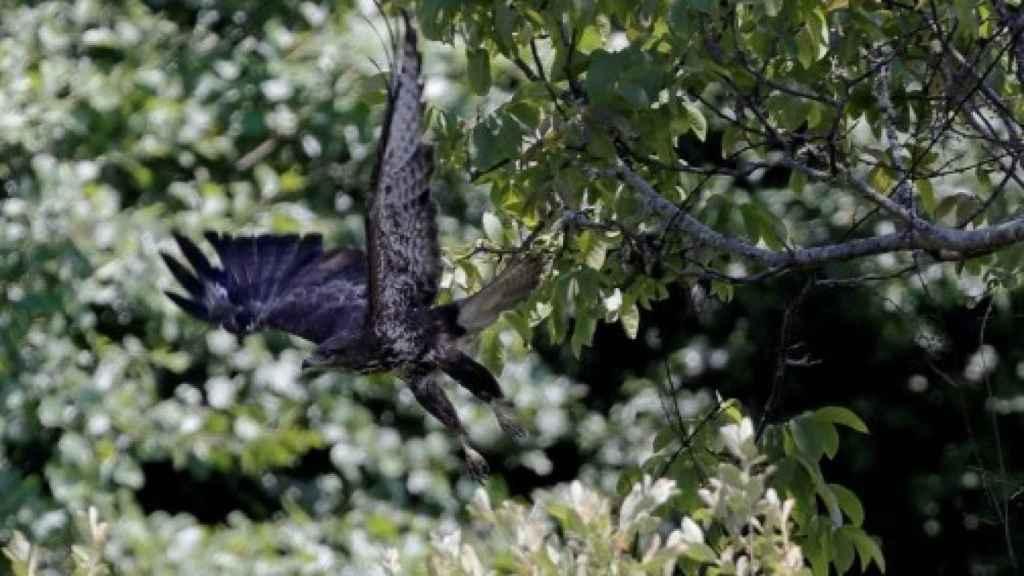 Un águila culebrera en Palas de Rey, Lugo.