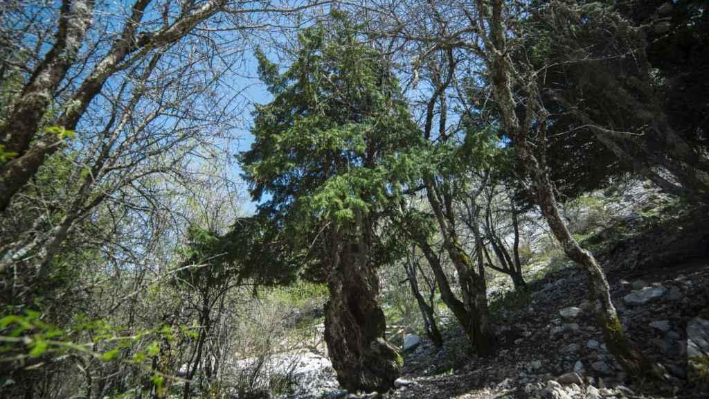 Tejo milenario ubicado en la Sierra de Cazorla.