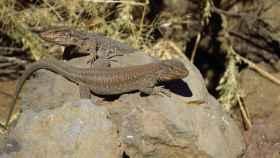 Ejemplares de lagarto Tizón, Gallotia galloti, de una localidad del sur de la isla de Tenerife.