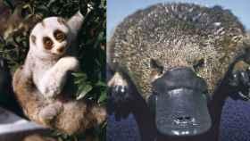 Tanto el loris perezoso de Bengala (izquierda) como el ornitorrinco (derecha) son mamíferos venenosos.