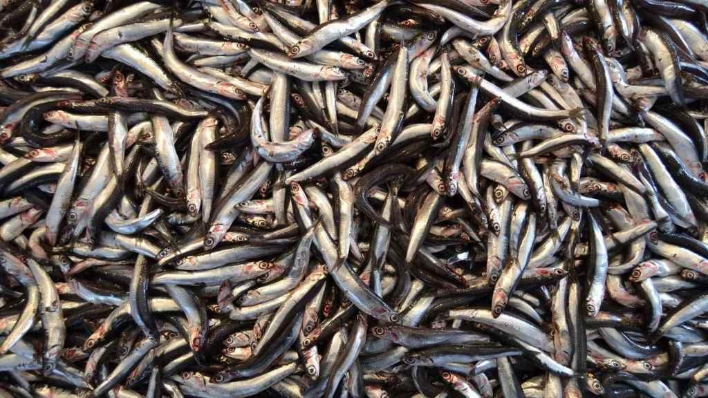 Un contenedor repleto de anchoas.