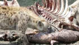 Una hiena devorando a otra especie.