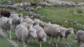 Una imagen de ovejas merinas en un sistema extensivo en las montañas leonesas.