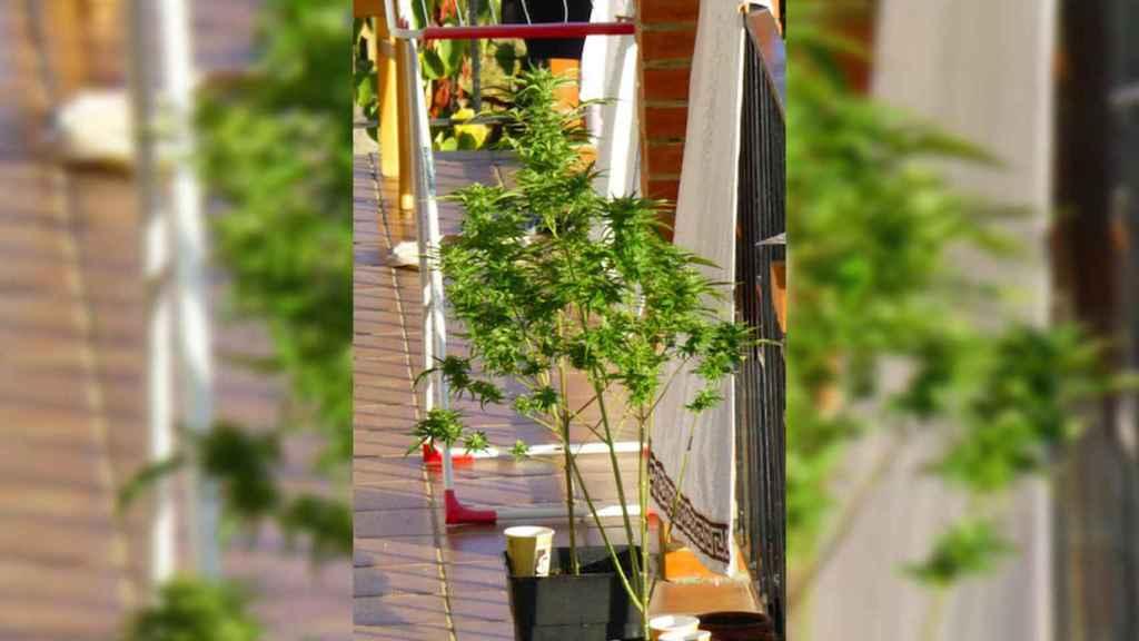 Los okupas hasta plantaron marihuana.