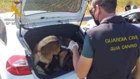 Perro de la Guardia Civil investigando un coche. Foto: Guardia Civil