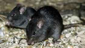Ejemplar de rata negra. Foto: National Geographic