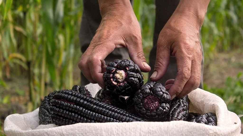 Un agricultor cosechando maíz morado en Perú.