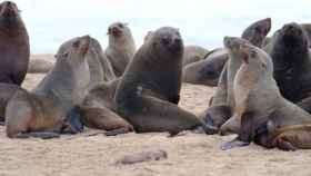 Varios ejemplares de lobos marinos se juntan en Pelican Point, Namibia.