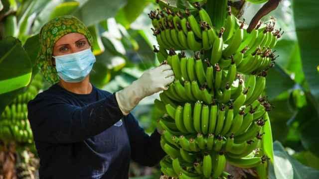 Última oportunidad para salvar al Plátano de Canarias: el Gobierno tratará de evitar el recorte de Europa