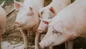 La inteligencia artificial marcará el precio de la carne de porcino en esta lonja de Huesca