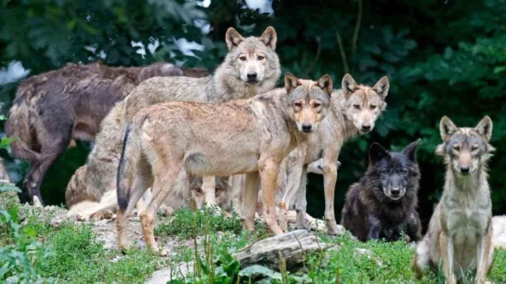 Una imagen de archivo de lobos.
