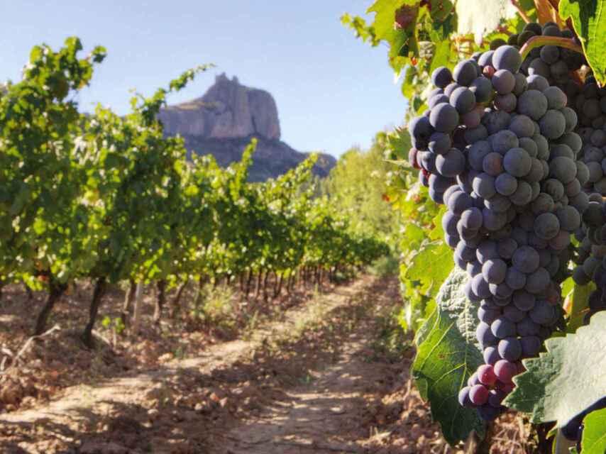 Campo de viñas en la Comunidad de Madrid.
